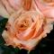 Букет из 15 роз Шиммер - Фото 4