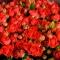 Букет из 41 розы спрей Ванесса - Фото 4
