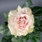 Роза Пинк Мондиаль - Фото 3