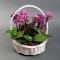 Орхидея Фаленопсис мини в корзинке - Фото 2