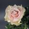 Роза Пинк Мондиаль - Фото 6
