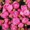 Коробка люкс с розой Мисти Бабблз - Фото 5