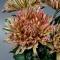 Букет хризантем Закат - Фото 4