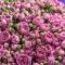 Букет из 51 розы спрей Мисти Бабблз - Фото 4