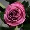 Дип Пёрпл роза - Фото 4