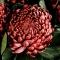 Букет бордовых хризантем - Фото 4