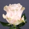 Роза Пинк Мондиаль - Фото 4