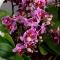 Орхидея Фаленопсис мини в корзинке - Фото 4